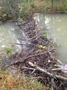 Beaver dam alongside the rail trail.