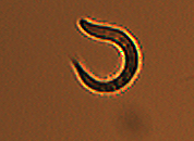 sampleworm1