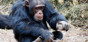 Chimpanzee using a stone to crack open a nut