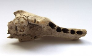 Dog jaw found in Swiss cave (c. 14000 years ago)