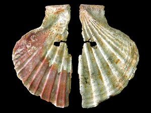 Decorative shell ornament worn by Neanderthals on jewelry