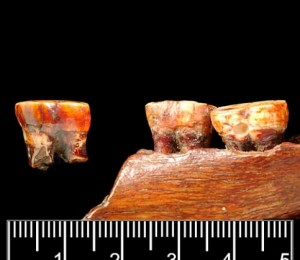 Piltdown Teeth