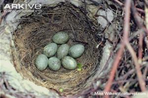 Magpie-eggs-in-nest