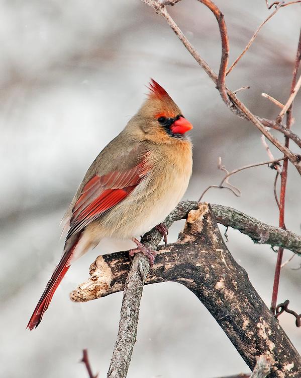Female Cardinal In Winter Photograph by Dan Sproul  Female Cardinal In Winter