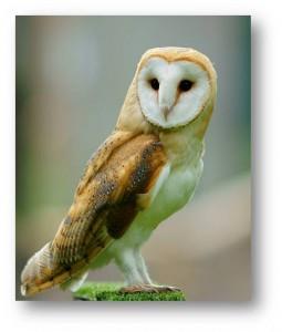 The Biology of the Barn Owl (Tyto alba)