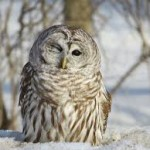 barred owl cute