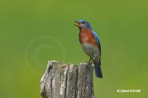 Eastern Bluebird singing