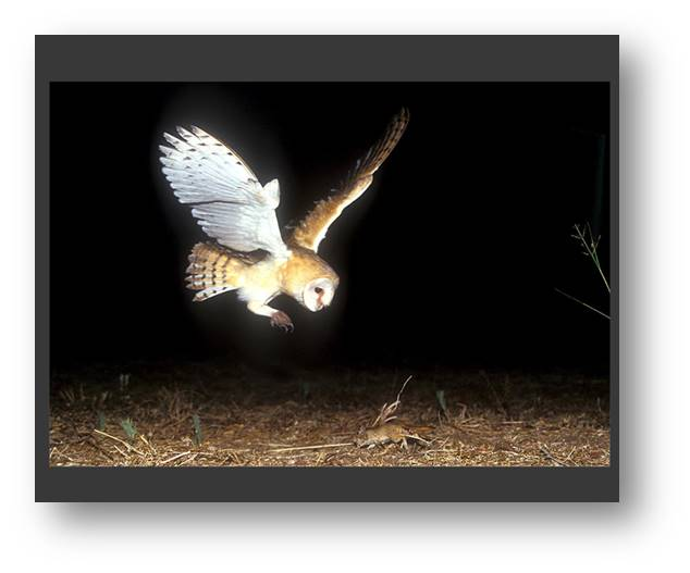 The Biology Of The Barn Owl Tyto Alba