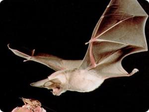 bat-lifespan-picture