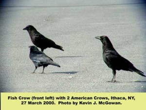 2 American crows and a fish crow (front left).