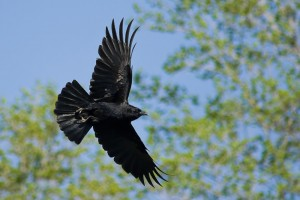 American crow flying.