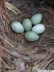 American Crow nest with eggs.