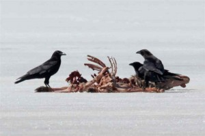 grackles-eating-deer-carcass-3-300x199