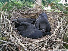 American Crow nestlings, 14 days old.