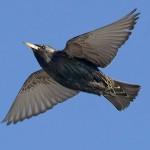 European_Starling_c22-38-259_l