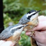 Male (right) and female (left) Red breasted Nuthatch