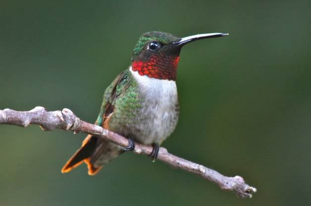 The Ruby Throated Hummingbird Archilochus Colubris Draft 1 on sound patch