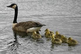 goose ducklings