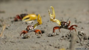 Here, two male fiddler crabs compete for mating rights. Notice the characteristic enlarged single claw.