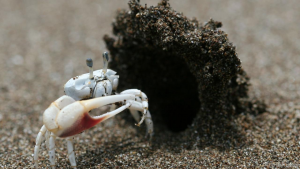 A fiddler crab standing at the ready near the hood of his burrow. These sand hoods attract female attention, and, new research finds, emboldens male exploration.