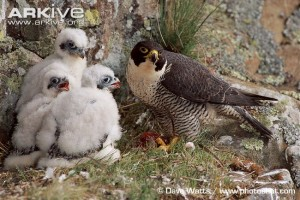 peregrine young