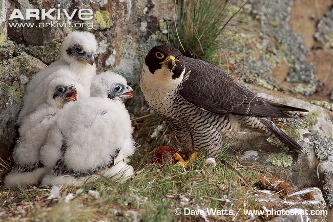 Peregrine Falcon Vocalizations