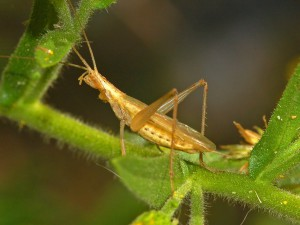 Male tree cricket (Oecanthus pellucens)
