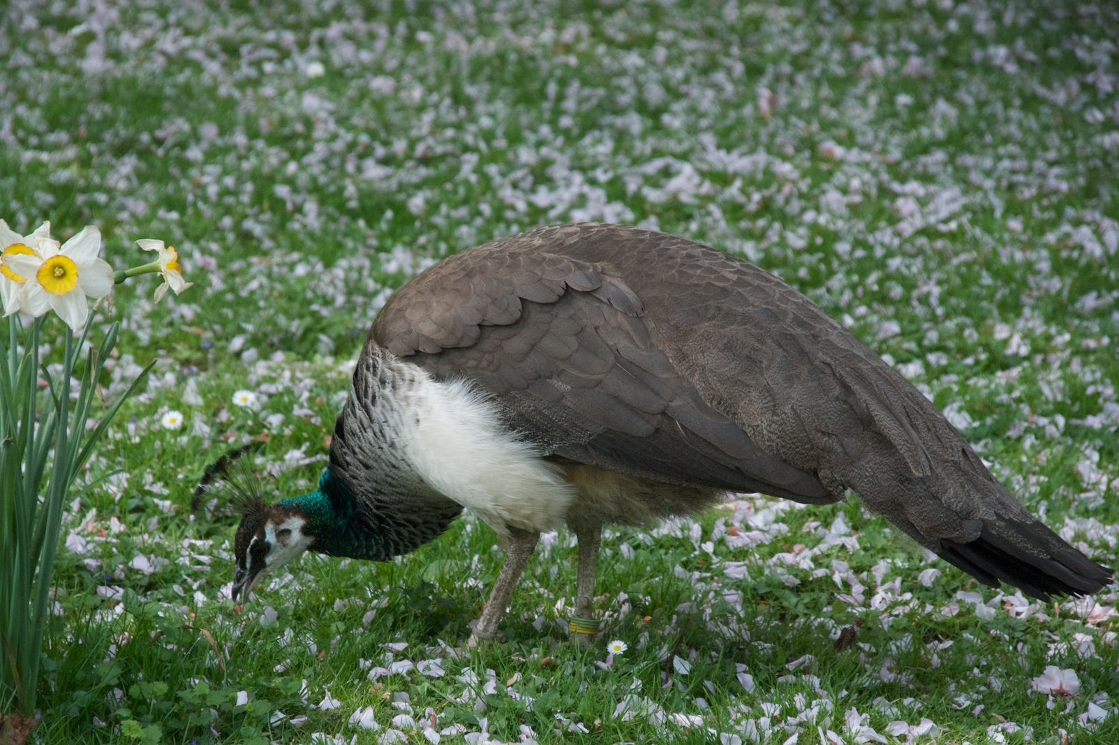 how to catch a peahen