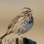 https://www.allaboutbirds.org/guide/PHOTO/LARGE/song_sparrow_glamour.jpg