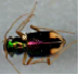 Fig 3: A Cicindelidae, or tiger beetle, also iridesces.