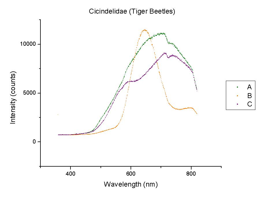 Cicindelidae or Tiger beetles